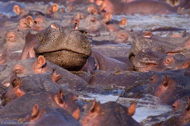 In timpul sezonului secetos din Parcul National Serengeti, hipopotamii se aduna in raul Grumeti pentru a se racori in ultimele ochiuri de apa ramase.