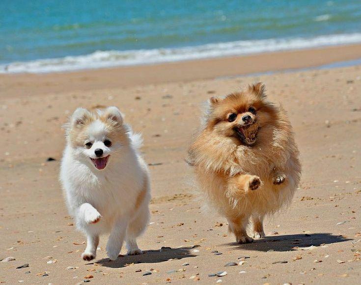 Poms on the beach!