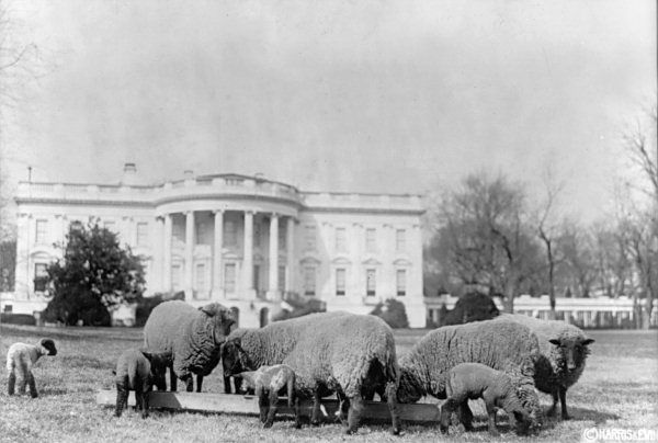 Sheep at the White House
