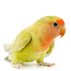 lovebird personality food amp care pets pet birds and birds