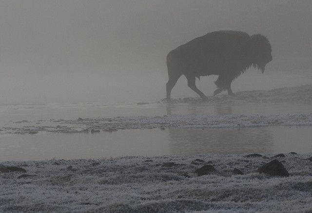 Jotakin merkittävää tapahtui biisoneille eurooppalaisten tullessa Amerikkaan. WERAssa puhutaan tällä viikolla myös biisoneista intiaanien rinnalla: http://fi.gosupermodel.com/community/forum_thread.jsp?id=6043700