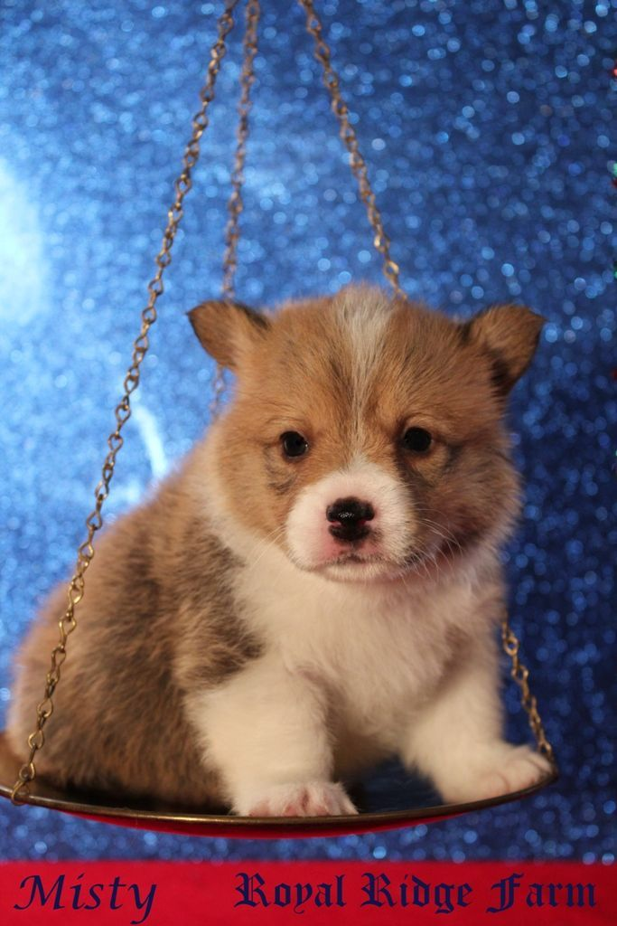 Popular Chubbie Chubby Adorable Dog - 73edc38302cceecfe38803059e738bef--chubby-puppies-corgi-puppies  Pictures_758244  .jpg