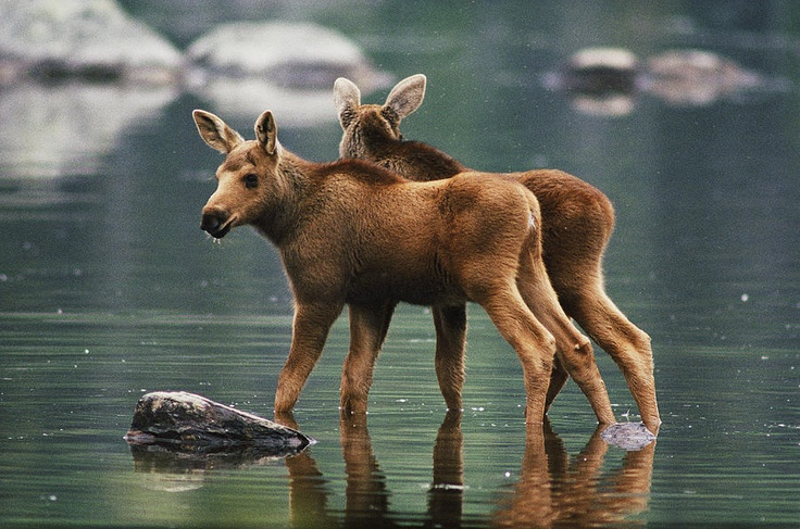 Moose Twins Alces Alces Americana Photograph by Phil Schermeister - Moose Twins Alces Alces Americana Fine Art Prints and Posters for Sale