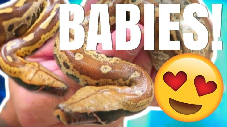 BABY BLOOD PYTHONS , SNAKE EGGS & 14 HOUR ROAD TRIP! Brian Barczyk
