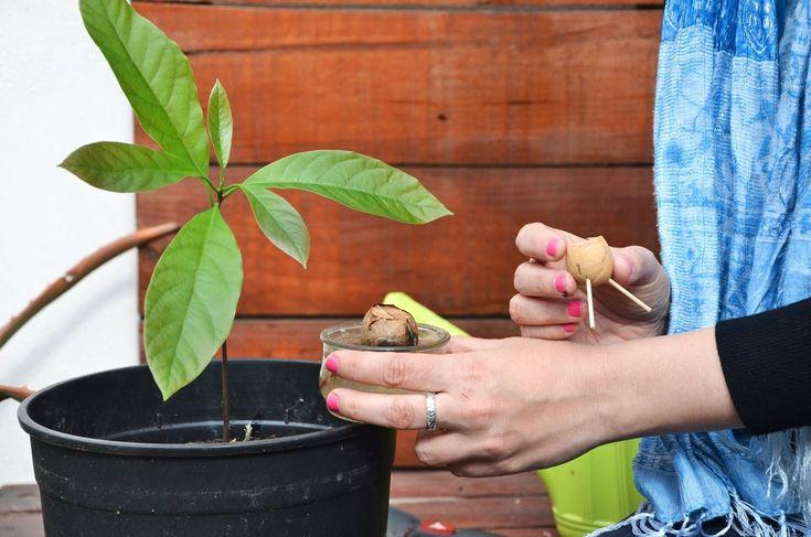 El huerto en casa 23 aguacate diy haz tu propio huerto - Plantar aguacate en casa ...