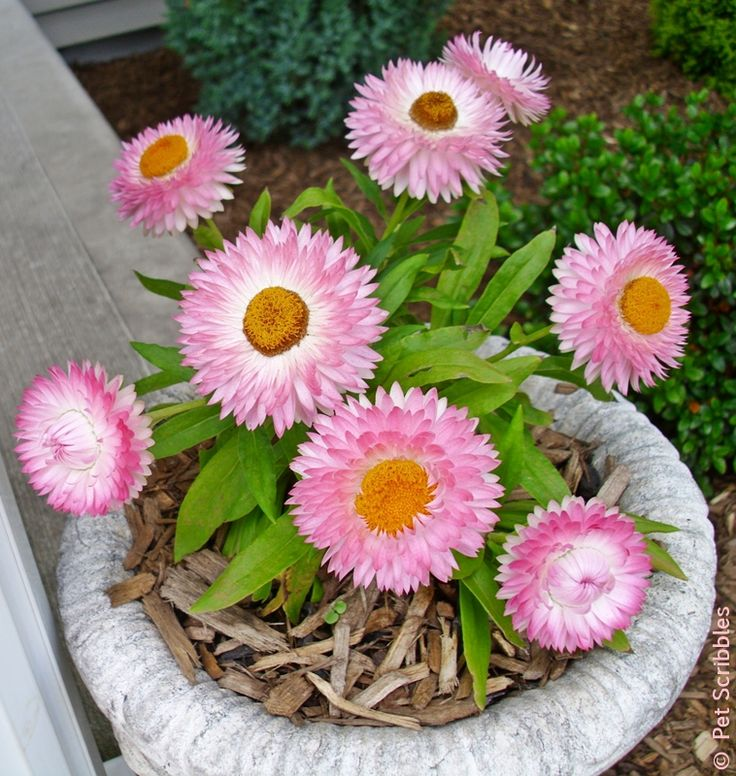 Outdoor Flowers For Sale Part - 23: Strawflowers, Bloom From Summer To Frost Full Sun Drought-tolerant No  Special Care Needed Flowers Feel Like Paper Or Straw Each Flower Head Lasts  Two To ...