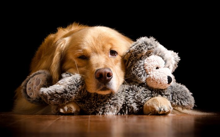 Download wallpapers Labrador, small brown puppy, retriever, dog with plush toy, toys for dogs