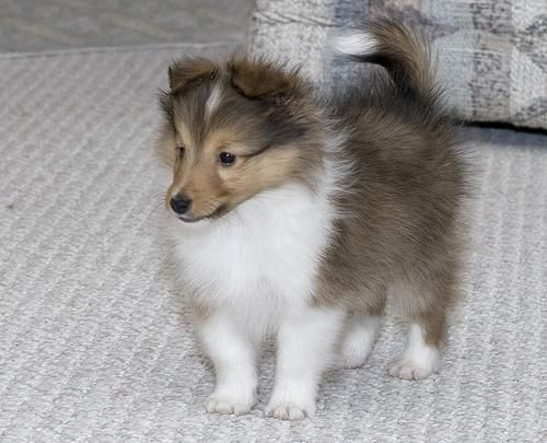 Sheltie puppy~he is too cute!
