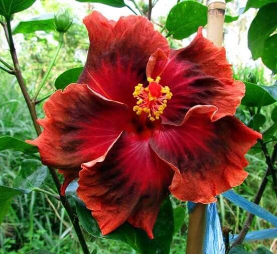Deep red hibiscus...beautiful!