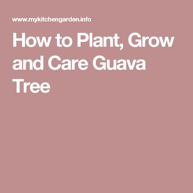 How to Plant, Grow and Care Guava Tree