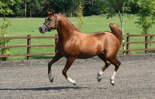 ROE ASEEL 2003 Straight Russian Arabian Chestnut Stallion. Padrons Psyche {Padron x Kilika by Tamerlan} x Balenina  {Balaton x Neva by Neman} Bred by Talal Aggad, Round Oak Arabians, GB. Owned by Carol Carpenter, Nomad Arabians, Argenton sur Creuse, France [Photo: Sweet Photography]