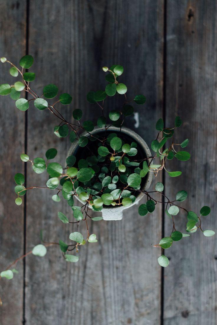 Australian ivy plant.