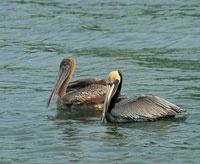 Pelícanos macho y hembra.