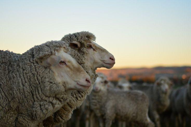 Schwein kraulen, Traktor fahren und Schafe scheren. Mein Alltag in Australien! - Erfahre mehr über meine Erfahrung als Wwoofer auf der wohl besten Farm der Welt.