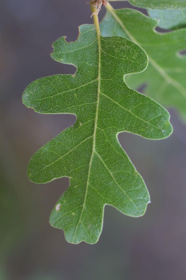 387 best acorns images on pinterest oak leaves botany and oak tree