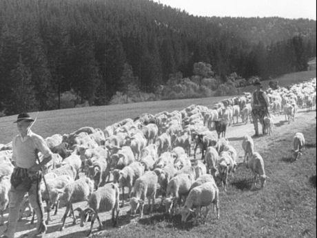 Zakopane & polish sheep. Zakopane, górale i polskie owce. [video] (REPOZYTORIUM CYFROWE FILMOTEKI NARODOWEJ) #repozytoriumcyfrowe, #Zakopane, #polish