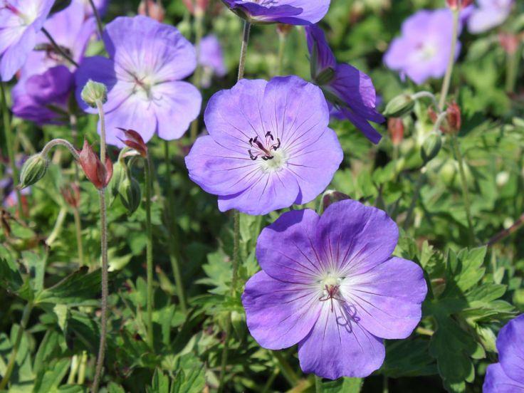 Storchschnabel 'Rozanne' ® - Geranium wallichianum 'Rozanne' ® Standort: sonnig