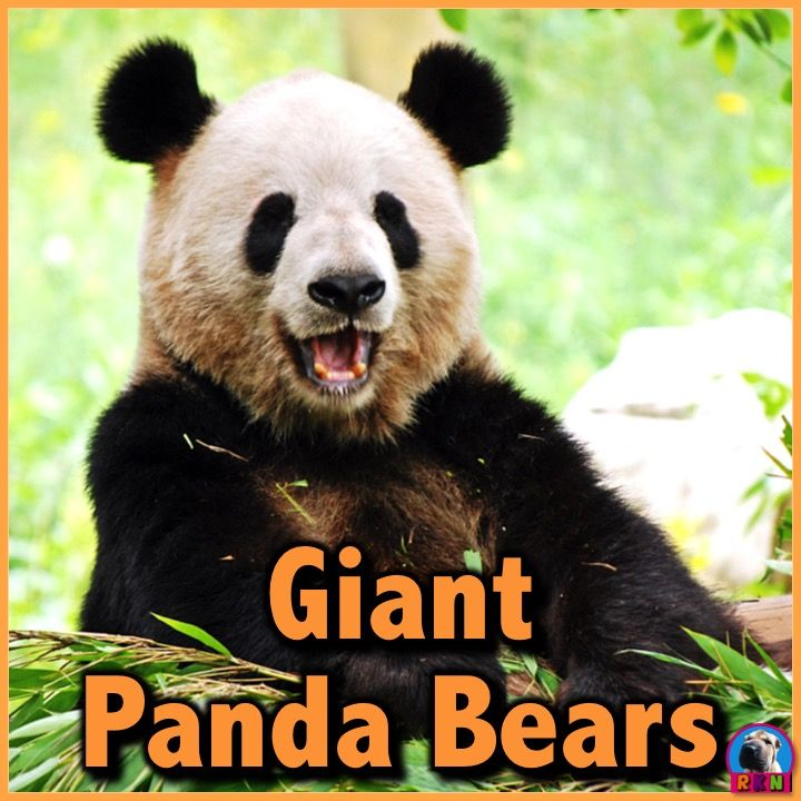 25+ best ideas about Panda facts for kids on Pinterest | Weird ...