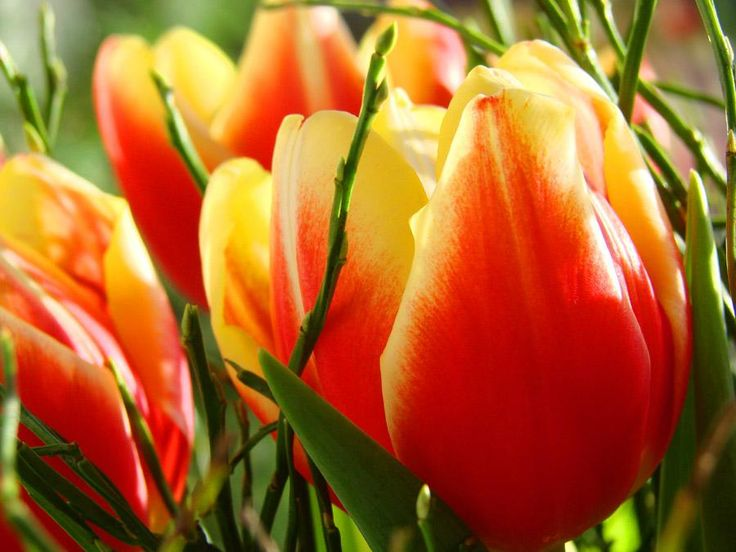 Tulip planting and growing guide from The Old Farmer's Almanac.