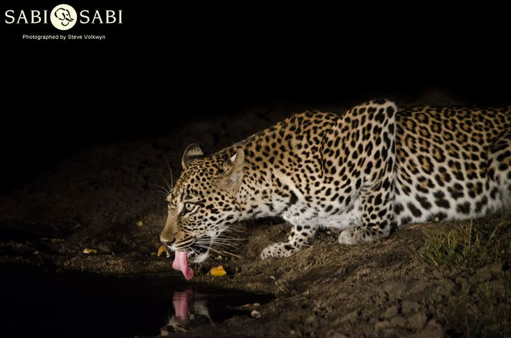 A female known as the Hlarulini female paid us a visit, and she was found on an Impala kill.
