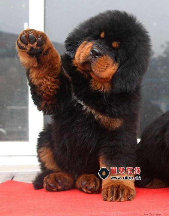 Tibetan Mastiff puppy.... aaaaaaaaaaaaaaaaaaaaaaaaaaaaaaaaaaaaaaaaaaaaaaaaaaaaaaaaaaaaaaaaaaaaaaaaaaaaaaaaaaaaaaaaaaaaaaaaaaaaaaaaaaaaaaaaaaaaaaaaaahhhhhhhhhhhhhhhhhhhhhhhhhhhhhhhhhhhhhhhhhhhhhhhhhhhhhhhhhhhhhhhhhhhhhhhhhhhhhhhhhhhhhhhhhhhhhhhhhhhhhhhhhhhhh!!!!!!!!!!!!!!!!!!!!!!!!!!!!!!!!!!!!!!!!!!!!!!!!!!!!!!!!!!!!!!!!!!!!!!!!!!!!!!!!!!!!!!!!!!!!!!!!!!!!!!!!!!!!!!!!!!!!!!!!!!!!!!!!!!!!!!!!!!!