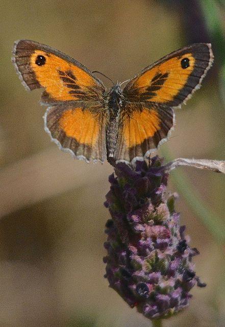 Oranje zandoogje op lavendel