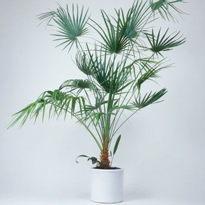 17 best ideas about bamboo palm on pinterest best indoor for Low maintenance air purifying plants