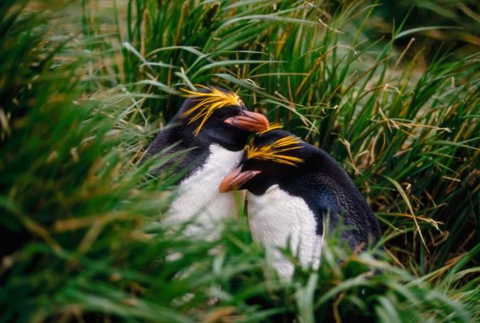 A pair of macaroni penguins nestle in the grass on South Georgia Island.