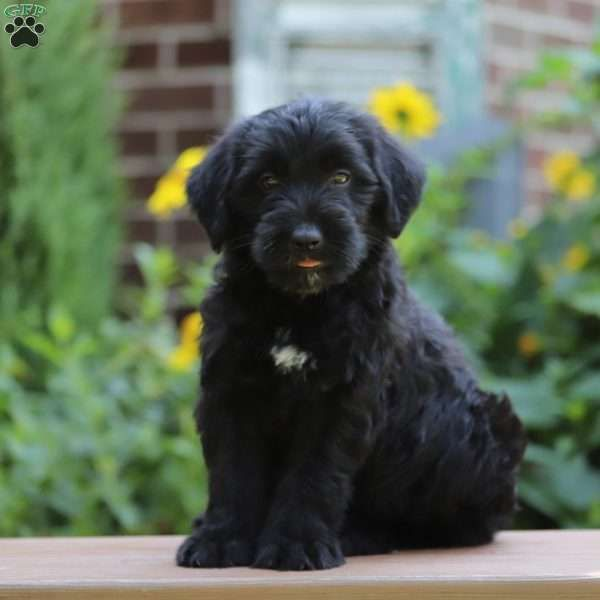 Gregory Labrador Mix Puppy For Sale In Pennsylvania Puppies