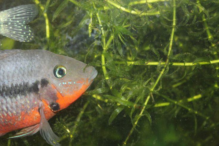One of three Firemouth cichlids I've kept - stunning fish :)