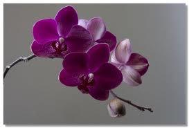 Wiki orchideeën