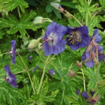 Geranium phaeum 'Margaret Hunt'