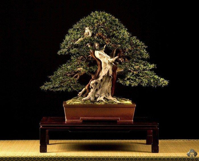 Stefano Frisoni Bonsai Art Buy Bonsai Tree Bonsai