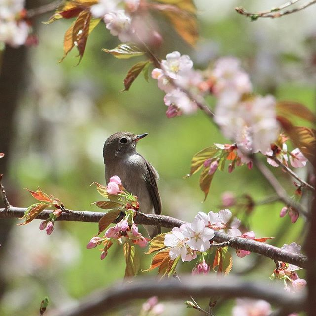 銅山の コサメビタキ 英名:Asian brown flycatcher . . 山桜に小鮫鶲図。 . . 可愛い花見客がやってきた^_^ . . 山桜の開花時期と、コサメビタキの渡来時期が運良く重なった。 . #コサメビタキ #野鳥 #野鳥倶楽部 #ヤマザクラ #東京カメラ部  #足尾銅山 #写真好きな人と繋がりたい  #pt_life_  #pretty_shotz  #animal_sultans  #allmightybirds  #birds_illife  #birdfreaks  #birdextreme  #bestbirdshots  #bb_of_ig  #eye_spy_birds  #fabulous_shots #feather_perfection  #fridayfowl #kings_birds  #garden_explorers  #nature_of_our_world  #nature_skyshotz  #natureaddictsun  #nature_sultans  #nuts_about_birds…