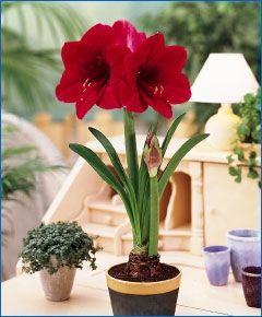 Amaryllis Merry Christmas - Christmas Flowering Single Amaryllis - Amaryllis - Fall 2013 Flower Bulbs