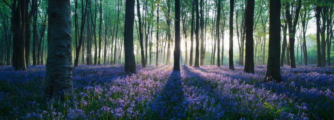 Stock Photo : Dawn in bluebell woodland (Hyacinthoides non-scripta), Hampshire, England