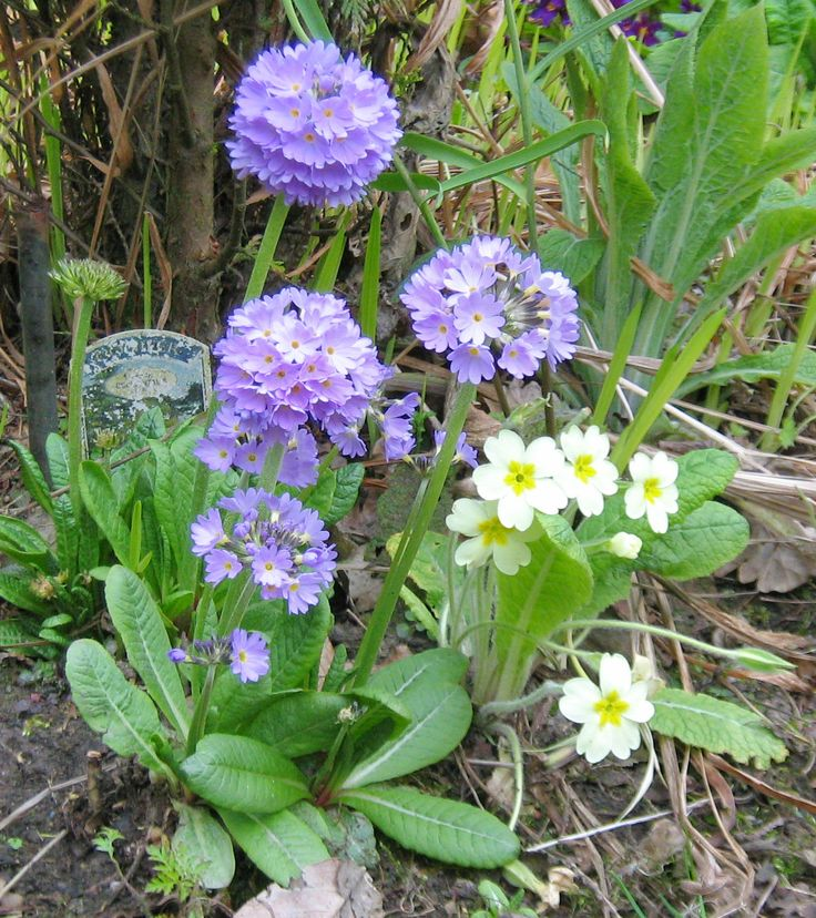 Primula denticulata absolutely love the clay and we have hundreds of plants in the garden - virtually all of them lilac coloured. Shown here with Primula vulgaris. Photographed 29th April 2016