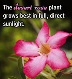 Fact about desert rose plant
