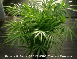 The foliage of a Parlor Palm (Chamaedorea elegans) is similar to that of the…