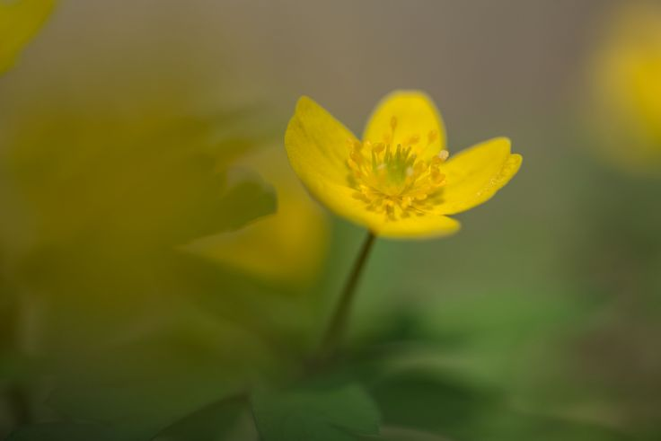 https://flic.kr/p/FL4Byi | More cheerful than me | Anemone ranunculoides is flowering now in forests in Vienna; this one in Lobau