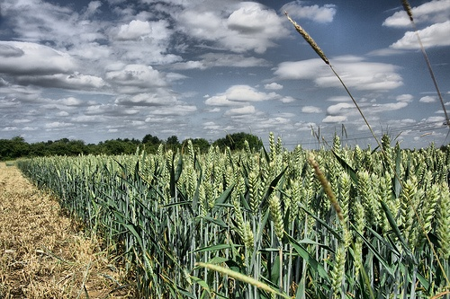 Wheat field in Letchworth Garden City