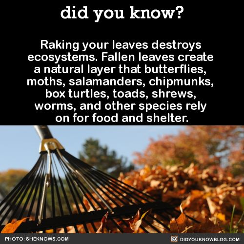 Rake in the Spring, never the Fall. The leaves help to insulate your lawn during the Winter.