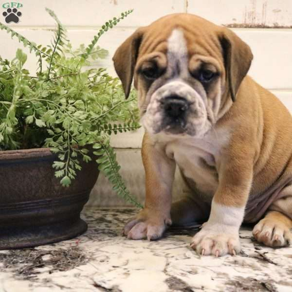 Buttercup Beabull Puppy For Sale In Pennsylvania Puppies