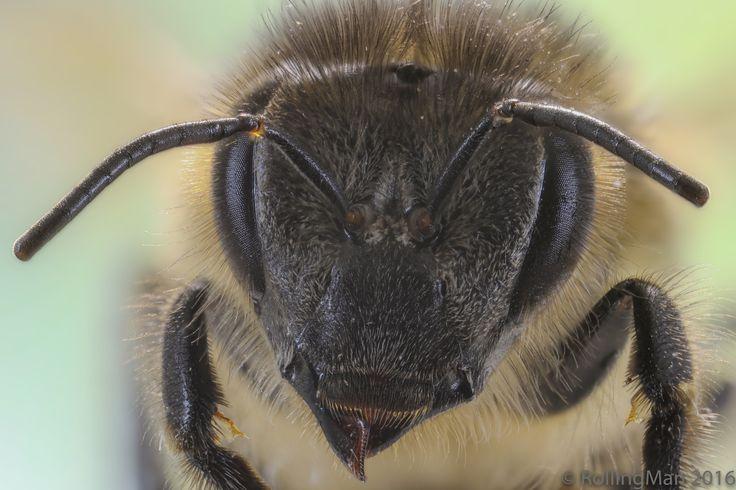 """Tête d'abeille - Apis mellifera  Boitier Canon EOS 5D Mark IV + Objectif Canon MP-E 65 mm f/2,8 1 à 5× + flash Canon MT-24EX Macro Twin Lite + lumière LED diffusée par dessus + rail macro motorisé et contrôleur Cognisys Stackshot 3X  Logiciel de stacking : ZereneStacker Empilements de 91 photos en mode manuel 65mm - f/6,3 - 1"""" - ISO 400 - rapport 5:1"""
