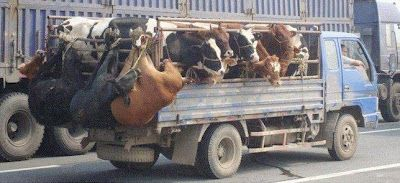 Farming & Agriculture: Animal Abuse in Transportation (Picture)
