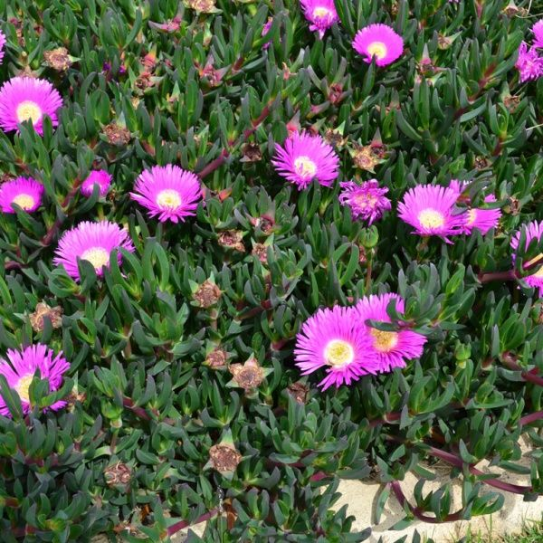 http://www.bluedaleplantsonline.com.au/shop/Ground-Cover-Plants/AUSSIE-RAMBLER/7/ AUSSIE RAMBLER™ Carpobrotus glaucescens 'CAR10' PBR     Aussie Rambler is a tough giant flowering native 'Pig Face' that forms a dense cover of sprawling foliage, making it an ideal ground cover plant.    Click here for more info on Aussie Rambler http://www.bluedaleplantsonline.com.au/shop/Ground-Cover-Plants/AUSSIE-RAMBLER/7/