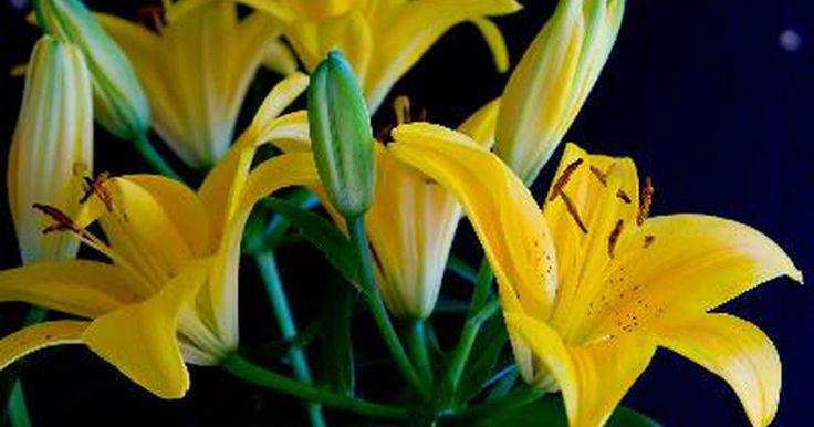 ¿Se puede cultivar un lilium asiático como planta de interior?. A menudo, los floristas plantan varios bulbos de los híbridos liliums asiáticos en maceta para forzarlos a florecer y poder venderlos como plantas de interior estacionales. Sin producirse en forma natural, los liliums asiáticos derivan de numerosas cruzas entre varias especies de lilus nativas de Asia, de donde reciben su nombre. Estas plantas no ...