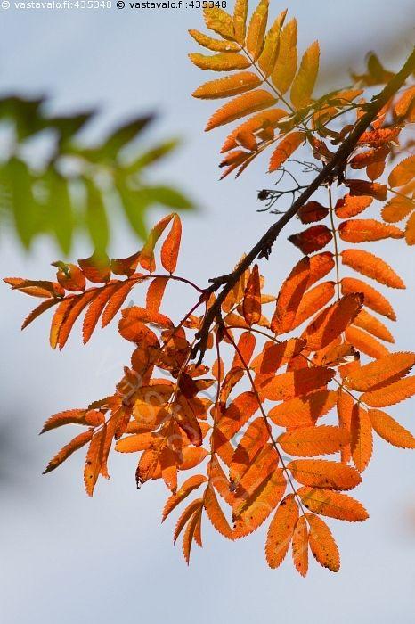Värikäs pihlaja - pihlaja ruska värikäs oranssi punertava keltainen vihreä lehti lehdet oksa syksy syksyinen