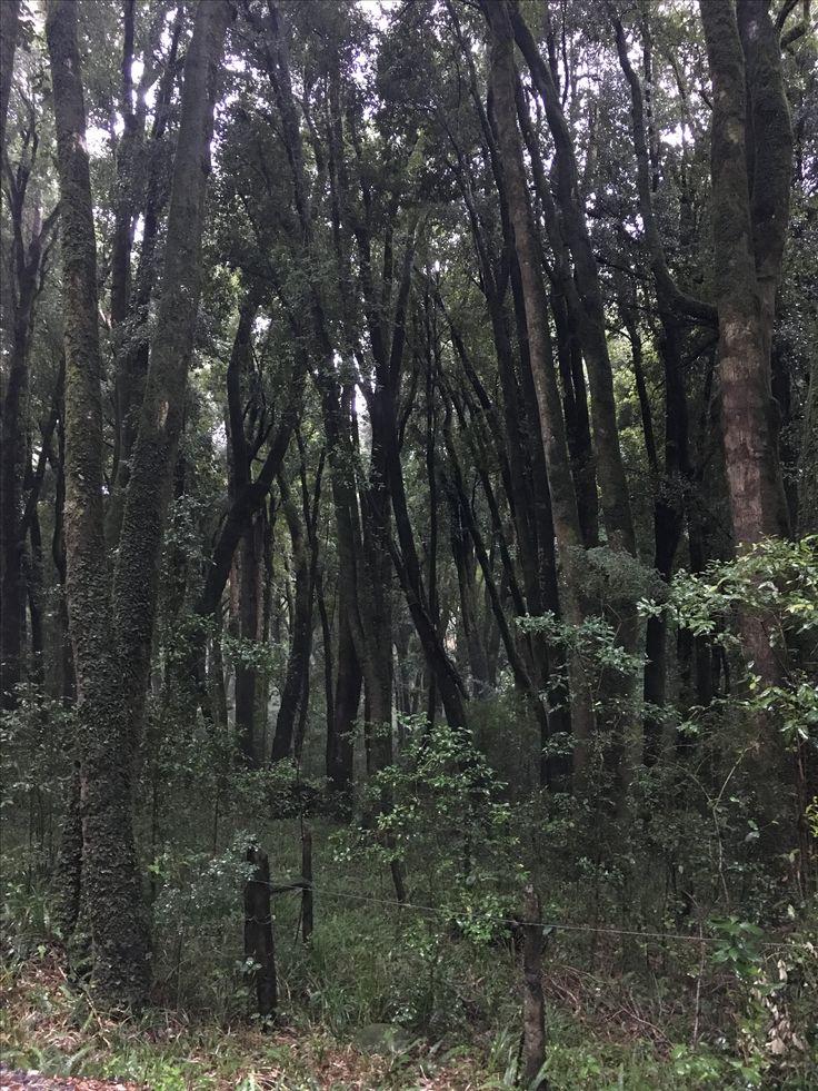 Bosque Quillin, Lago Ranco - Abril 2017