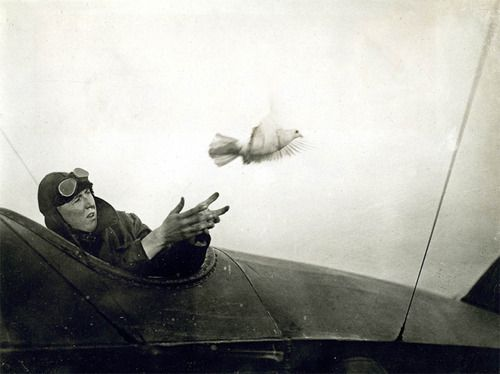 British naval official photograph - Pilot releasing a pigeon carrying a message. 1910. S) (Carrier pigeons are now extinct)
